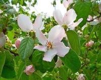 Árvore de florescência fotografia de stock royalty free