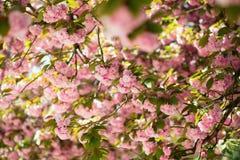Árvore de florescência bonita com flores cor-de-rosa Imagem de Stock