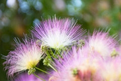 Árvore de florescência bonita e macia Fotos de Stock Royalty Free