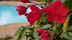 Árvore de florescência com as flores cor-de-rosa em Maui, Havaí fotos de stock