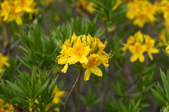 A árvore de florescência com cores amarelas imagem de stock royalty free