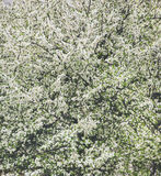 Árvore de florescência com flores brancas, fundo natural ou papel de parede Imagens de Stock Royalty Free