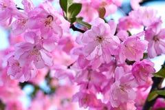 Árvore de florescência cor-de-rosa Imagens de Stock Royalty Free
