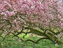 Árvore de florescência cor-de-rosa enorme da magnólia imagem de stock