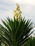 Árvore de florescência da mandioca foto de stock royalty free