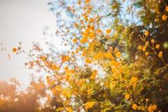 A árvore de florescência da mimosa no por do sol cronometra a profundidade rasa do close-up do fi Imagem de Stock Royalty Free