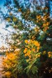 A árvore de florescência da mimosa no por do sol cronometra a profundidade rasa do close-up do fi Foto de Stock