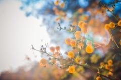 A árvore de florescência da mimosa no por do sol cronometra a profundidade rasa do close-up do fi Imagem de Stock