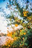A árvore de florescência da mimosa no por do sol cronometra a profundidade rasa do close-up do fi Foto de Stock Royalty Free