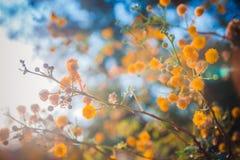 A árvore de florescência da mimosa no por do sol cronometra a profundidade rasa do close-up do fi Fotografia de Stock