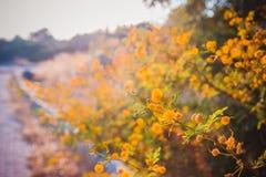 A árvore de florescência da mimosa no por do sol cronometra a profundidade rasa do close-up do fi Fotos de Stock