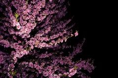 Árvore de florescência da mola Fotos de Stock Royalty Free