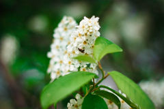 Árvore de florescência da pássaro-cereja Imagem de Stock