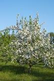 Árvore de florescência de uma Apple-árvore Imagens de Stock Royalty Free