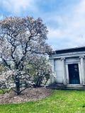 Árvore de florescência do cemitério de Springfield fotos de stock