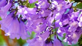 Árvore de florescência do Jacaranda (4K)