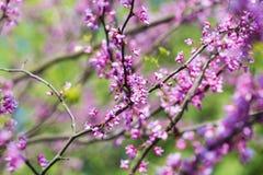 Árvore de florescência do Judas Imagens de Stock Royalty Free