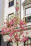 Árvore de florescência do magnolia Imagem de Stock Royalty Free