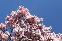 Árvore de florescência do magnolia Foto de Stock Royalty Free