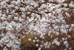 Árvore de florescência do Magnoliaceae da magnólia Fotografia de Stock