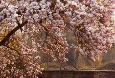 Árvore de florescência do Magnoliaceae da magnólia Imagens de Stock Royalty Free