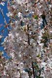 Árvore de florescência do ponto da ação de graças Foto de Stock Royalty Free