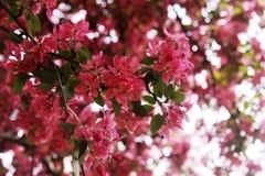 Árvore de florescência em abril Imagem de Stock Royalty Free