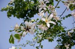 Árvore de florescência em Chipre Fotografia de Stock