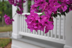 Árvore de florescência em San Antonio, TX Fotos de Stock Royalty Free