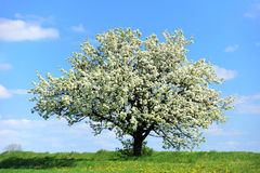 Árvore de florescência na mola Fotos de Stock Royalty Free
