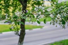 Árvore de florescência na mola Imagem de Stock