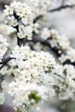 Árvore de florescência na mola com flores brancas Foto de Stock Royalty Free