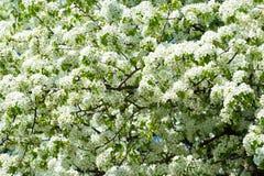 Árvore de florescência na primavera Foto de Stock Royalty Free