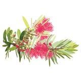 Árvore de florescência vermelha australiana do Bottlebrush ilustração royalty free