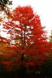Árvore de fogo fotos de stock