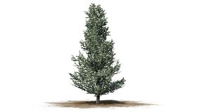 Árvore de Fraser Fir no inverno ilustração do vetor