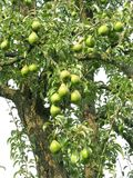 Árvore de fruta Fotografia de Stock
