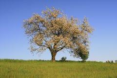 Árvore de fruta imagens de stock