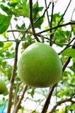 Árvore de fruta alaranjada verde Fotos de Stock Royalty Free