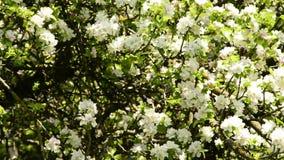 Árvore de fruta com flor video estoque