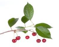 Árvore de frutas da cereja com folhas Imagens de Stock Royalty Free
