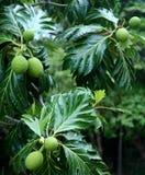 Árvore de frutas-pão Foto de Stock Royalty Free