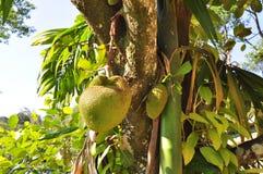 Árvore de frutas-pão imagens de stock royalty free