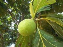 Árvore de frutas-pão 3 Fotos de Stock Royalty Free