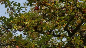 A árvore de fruto é coberta com as maçãs maduras video estoque