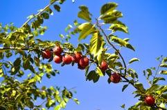 Árvore de fruto Fotografia de Stock Royalty Free