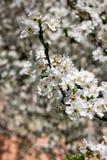 Árvore de fruto de florescência Foto de Stock