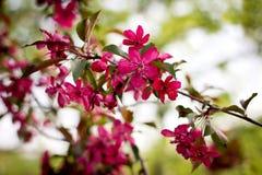 Árvore de fruto de florescência Fotos de Stock Royalty Free