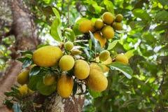 Árvore de fruto de Jack imagem de stock