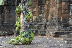 Árvore de fruto de Jack Imagem de Stock Royalty Free